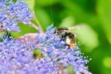 紫陽花とクロマルハナバチ|_・)