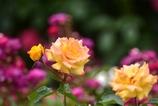 バラが咲いたよパシャリ|_・)2