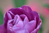紫のチューリップ(^^)