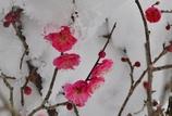 梅と雪景色2パシャリ|_・)