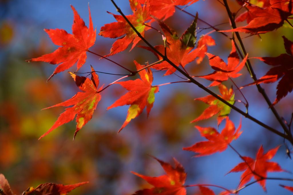 秋だから紅葉パシャリ|_・)2