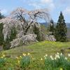 与一野のしだれ桜と水仙パシャリ|_・)