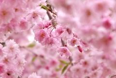 枝垂桜満開パシャリ|_・)その2