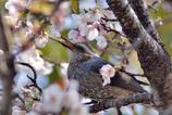 桜とヒヨドリその1パシャリ|_・)