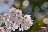 桜バックは七角のボケでパシャリ|_・)