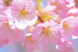 ふんわり桜(^^)