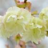 牡丹桜 鬱金