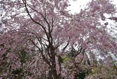 枝垂桜満開パシャリ|_・)その1