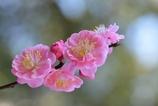 ピンク色に咲いたよ!!