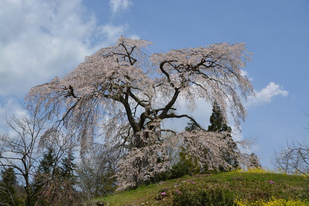 与一野のしだれ桜下からパシャリ|_・)