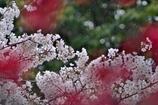 雨の日でもお花見パシャリ|_・)