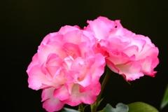 バラが咲いたよパシャリ|_・)4