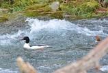 カワアイサ激流に逆らって泳いでいるからパシャリ|_・)