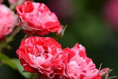 バラが咲いたよパシャリ|_・)3