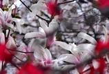 枝垂れ梅に囲まれ木蓮パシャリ|_・)