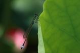 蓮の葉影にて