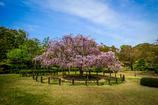 しあわせの枝垂れ桜