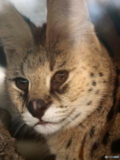 サーバル猫