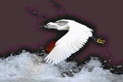 急流を舞う白鷺
