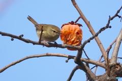 柿と野鳥Ⅲ(鶯)