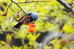 柿と野鳥Ⅴ(イソヒヨドリ)