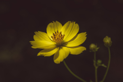 Golden Cosmos