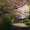 Row of cherry blossom trees