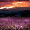 Cosmos field of sunset