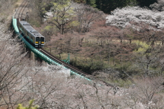 矢祭 桜花爛漫