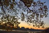 桜の葉っぱ(落葉)