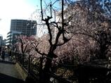 溝ノ口の二ヶ領用水の桜 II