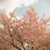 河津桜のトイカメラ風