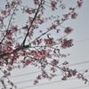 開放して背景ぼかしで桜