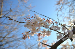 F2.8で淡墨桜
