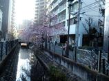 溝ノ口の二ヶ領用水の桜