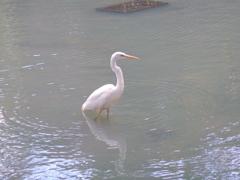 浄の池(きよめのいけ)の白鷺