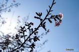 桜も...
