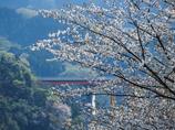 宮ケ瀬湖の桜その2