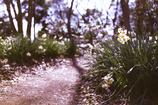 水仙の小道