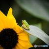 向日葵の防人