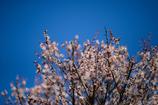 梅は咲いたか
