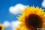 夏 X 向日葵