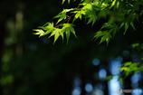 春紅葉の輝き