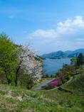 宮ケ瀬湖の桜その1