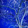 蒼桜とリング
