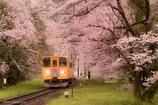 桜を抜けて
