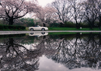 桜reflection 1