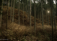 SONY ILCE-7Sで撮影した(黄金色の森)の写真(画像)