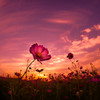 Cosmos of the morning glow