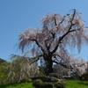 京の都のしだれ桜